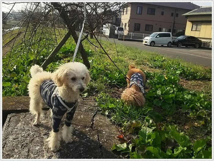 今日も寒い大分地方だったけど、さくらと大とパパさん、頑張って午前中からお散歩~_b0175688_20091595.jpg