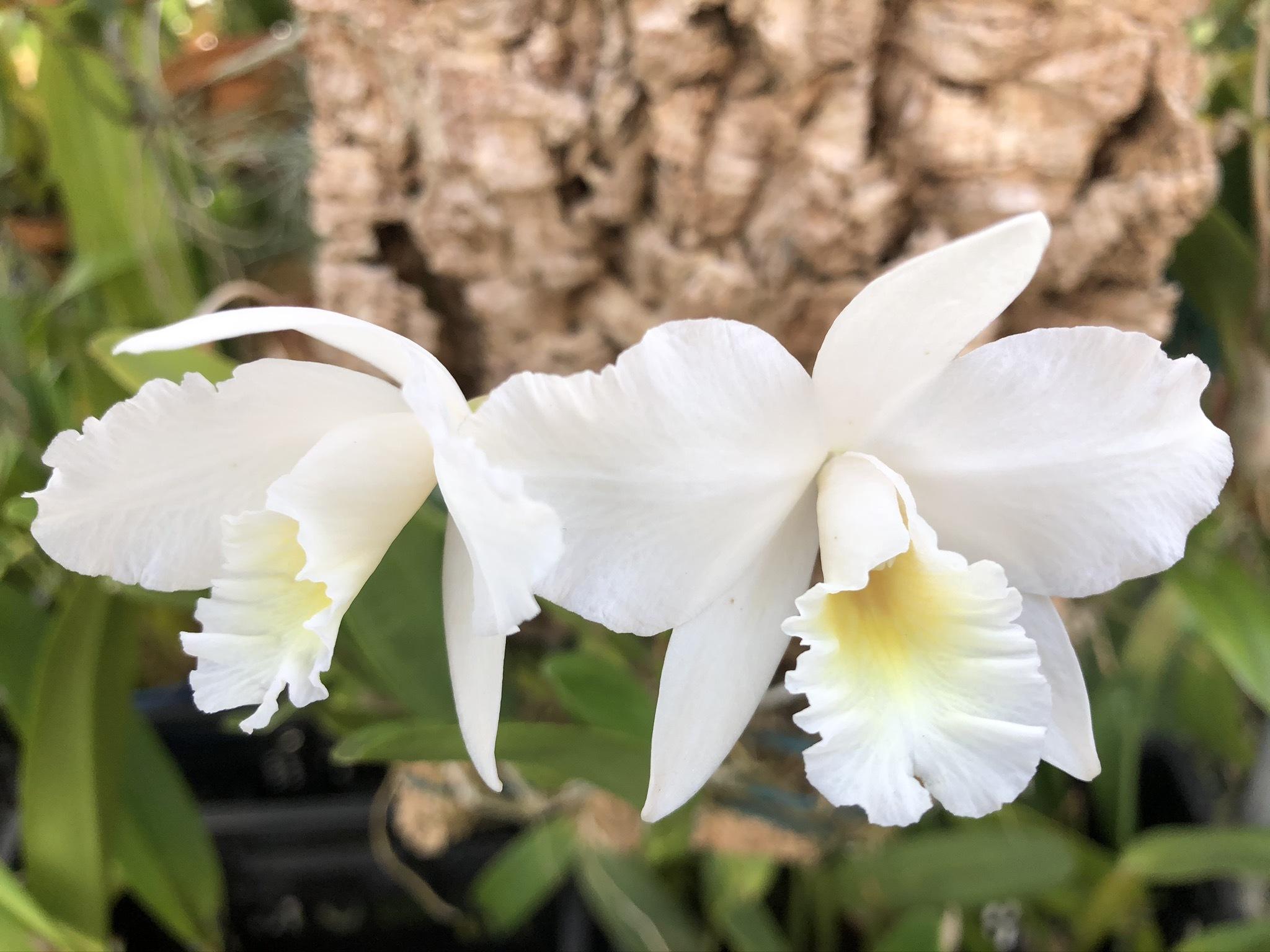"""C.Dubescens \""""White Star\"""" HCC/AOS BM/JOGA_d0007501_10412445.jpg"""