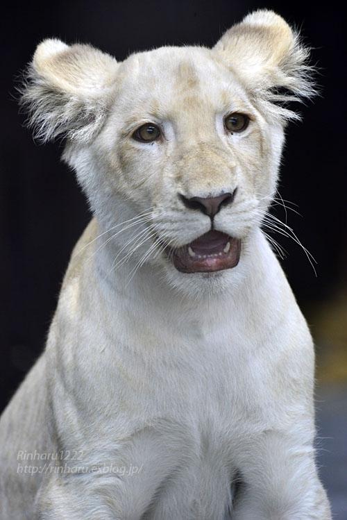 2019.11.4 東北サファリパーク☆ホワイトライオンのイチゴちゃん_<その1>【White lion】_f0250322_19582526.jpg