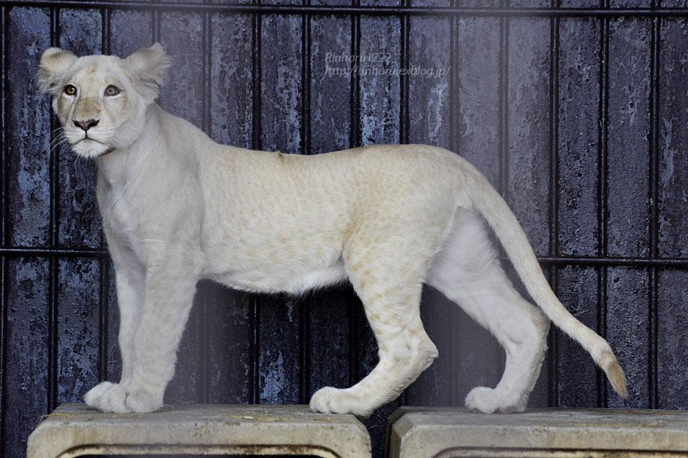 2019.11.4 東北サファリパーク☆ホワイトライオンのイチゴちゃん_<その1>【White lion】_f0250322_1958312.jpg