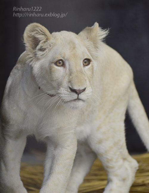 2019.11.4 東北サファリパーク☆ホワイトライオンのイチゴちゃん_<その1>【White lion】_f0250322_19583725.jpg