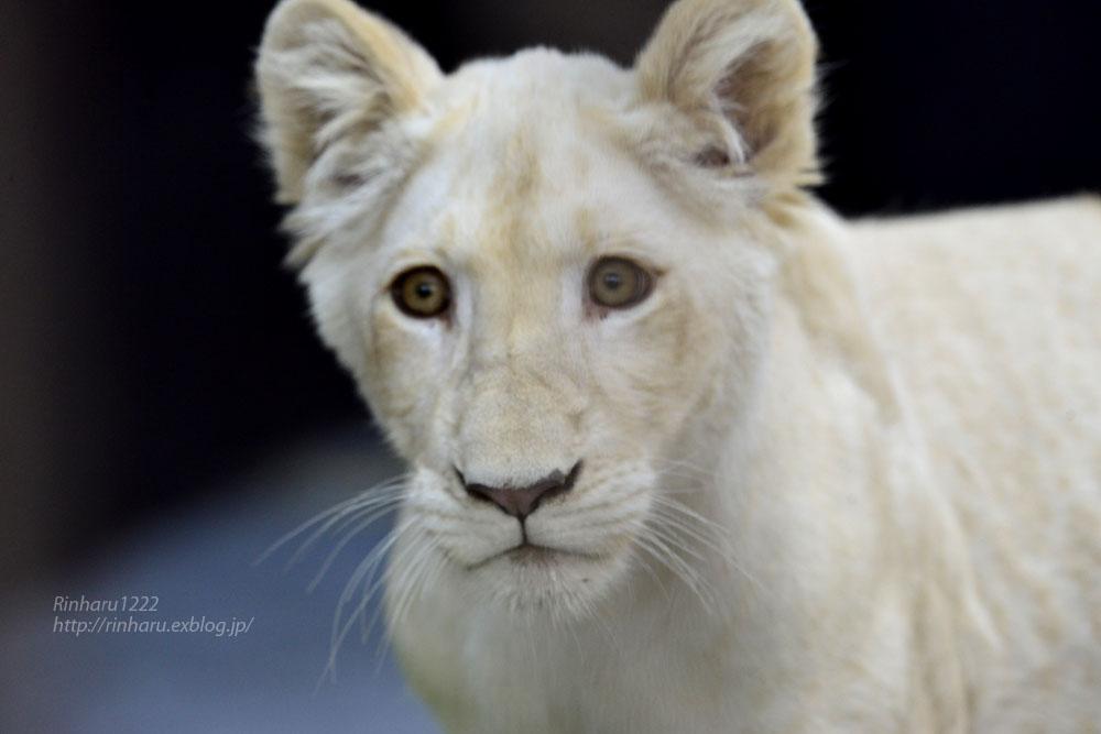 2019.11.4 東北サファリパーク☆ホワイトライオンのイチゴちゃん_<その1>【White lion】_f0250322_19584917.jpg