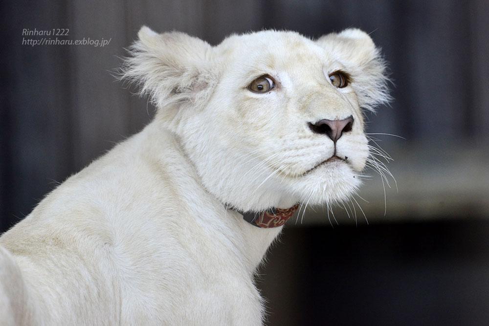 2019.11.4 東北サファリパーク☆ホワイトライオンのイチゴちゃん_<その1>【White lion】_f0250322_19585569.jpg