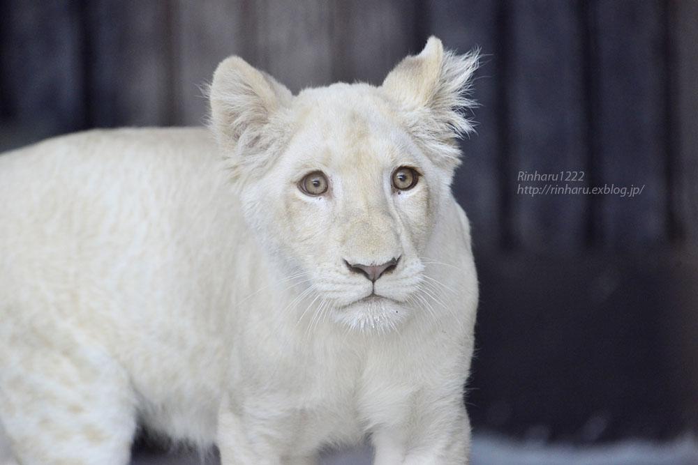 2019.11.4 東北サファリパーク☆ホワイトライオンのイチゴちゃん_<その1>【White lion】_f0250322_19590100.jpg