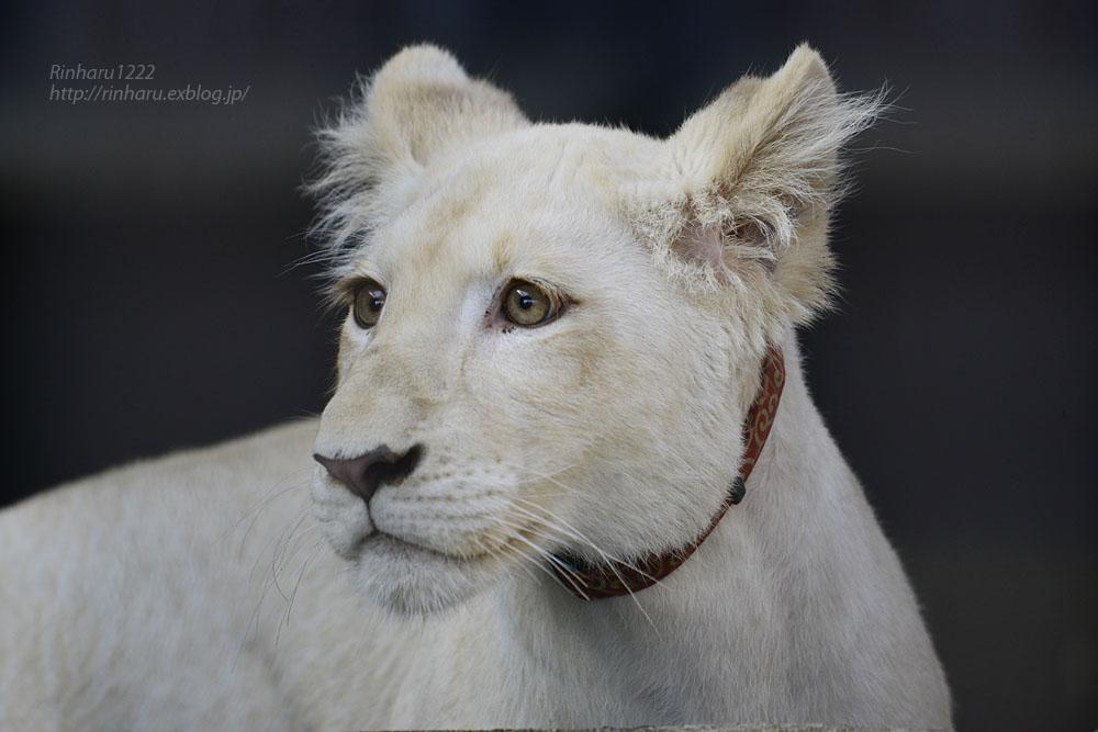 2019.11.4 東北サファリパーク☆ホワイトライオンのイチゴちゃん_<その1>【White lion】_f0250322_19591198.jpg