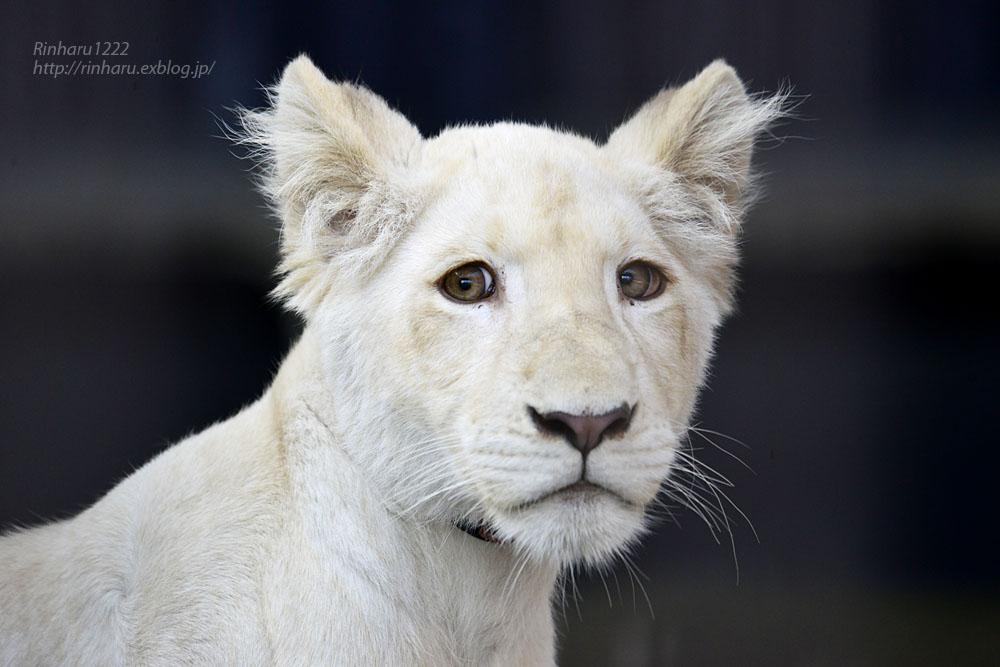 2019.11.4 東北サファリパーク☆ホワイトライオンのイチゴちゃん_<その1>【White lion】_f0250322_19591756.jpg