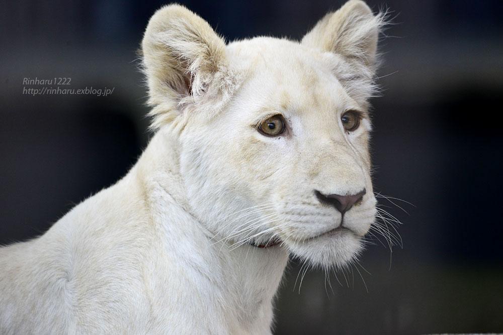 2019.11.4 東北サファリパーク☆ホワイトライオンのイチゴちゃん_<その1>【White lion】_f0250322_19592355.jpg