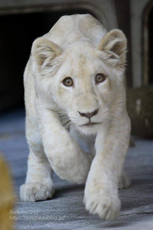 2019.11.4 東北サファリパーク☆ホワイトライオンのイチゴちゃん_<その1>【White lion】_f0250322_19592918.jpg
