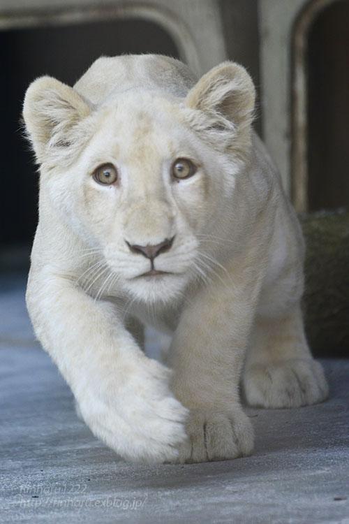 2019.11.4 東北サファリパーク☆ホワイトライオンのイチゴちゃん_<その1>【White lion】_f0250322_19593676.jpg