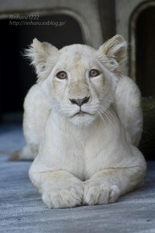 2019.11.4 東北サファリパーク☆ホワイトライオンのイチゴちゃん_<その1>【White lion】_f0250322_19594225.jpg