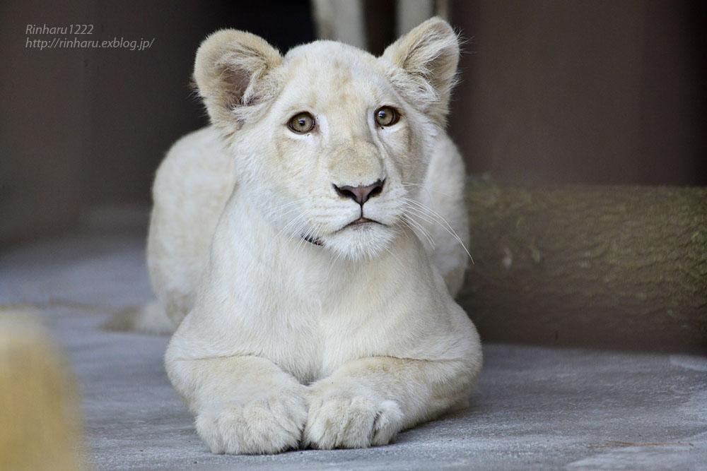 2019.11.4 東北サファリパーク☆ホワイトライオンのイチゴちゃん_<その1>【White lion】_f0250322_19594716.jpg