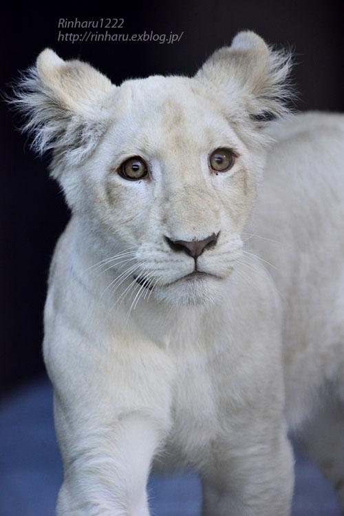 2019.11.4 東北サファリパーク☆ホワイトライオンのイチゴちゃん_<その1>【White lion】_f0250322_1959568.jpg
