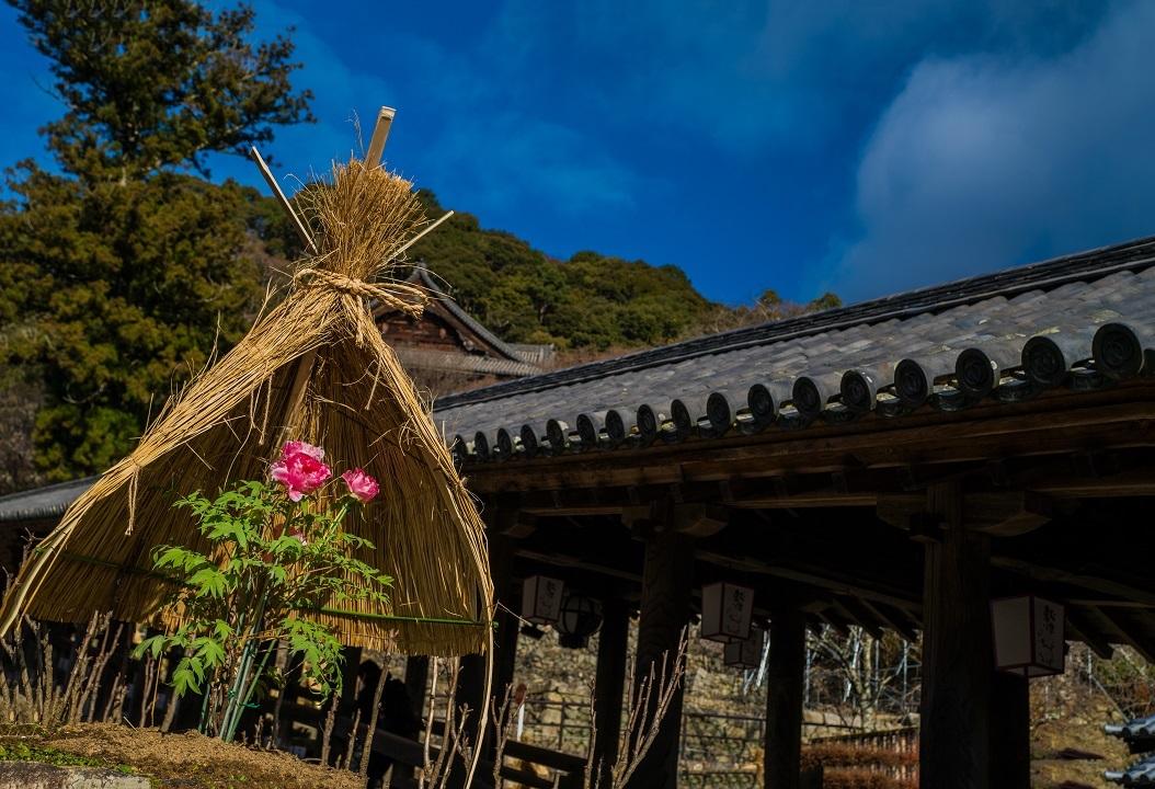 長谷寺の寒牡丹_e0363038_21020103.jpg