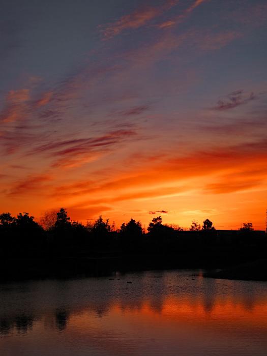 オオハクチョウの塒は地元の小さな池_d0290240_10032368.jpg