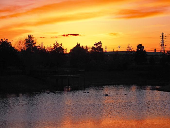 オオハクチョウの塒は地元の小さな池_d0290240_10033914.jpg