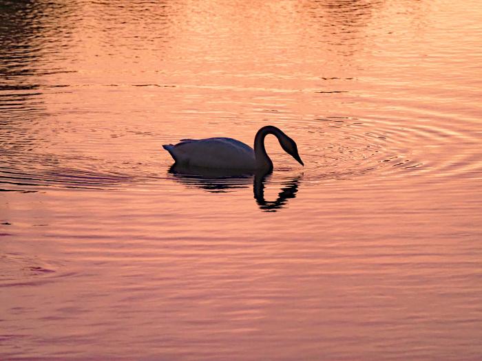 オオハクチョウの塒は地元の小さな池_d0290240_10040619.jpg