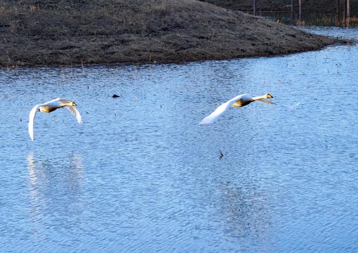 オオハクチョウの塒は地元の小さな池_d0290240_10065834.jpg