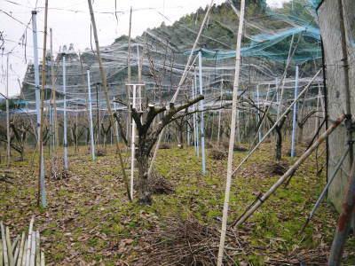 太秋柿 剪定作業2020 今年は今までと全く異なり低く仕上げています(前編)_a0254656_16333029.jpg