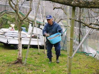 太秋柿 剪定作業2020 今年は今までと全く異なり低く仕上げています(前編)_a0254656_16405768.jpg