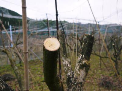 太秋柿 剪定作業2020 今年は今までと全く異なり低く仕上げています(前編)_a0254656_16423583.jpg