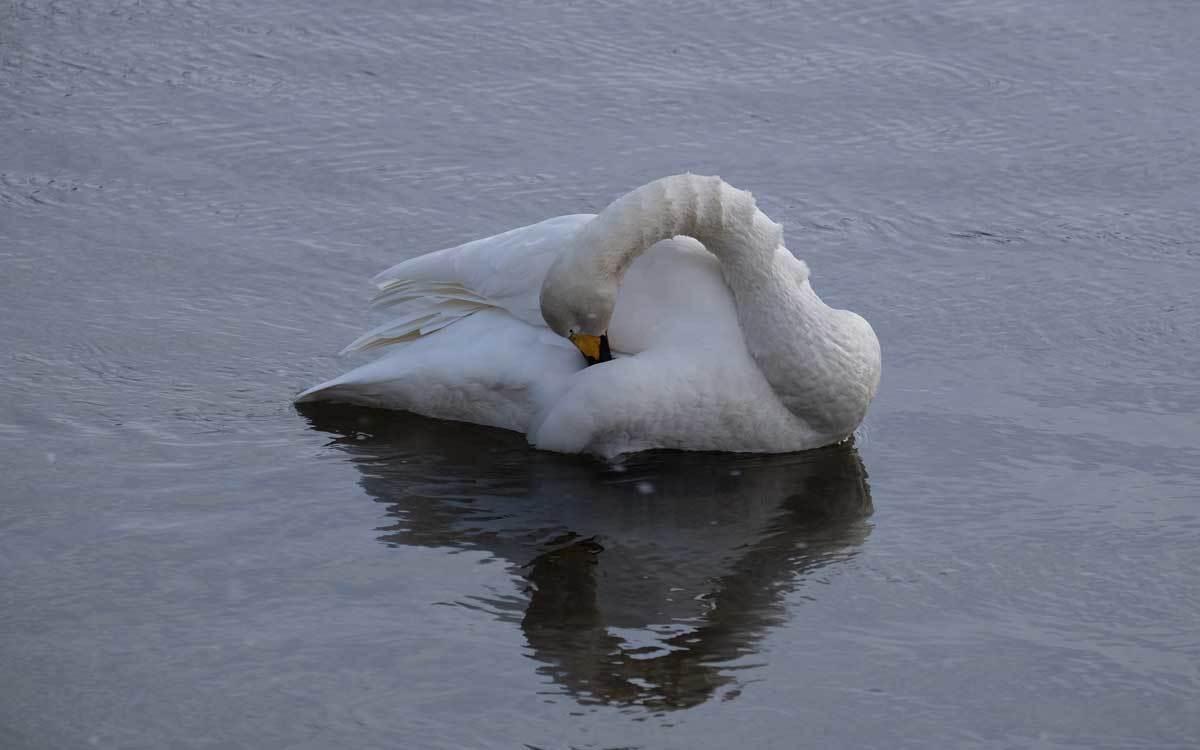 白鳥ネタが続きます_e0220159_18030274.jpg