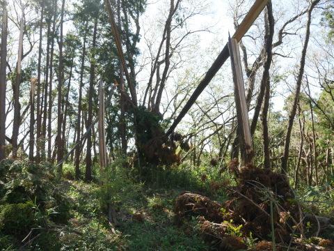 畑の実生のクリ、誤伐跡近くに移植2020・1・14_c0014967_06255692.jpg