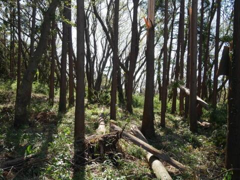 畑の実生のクリ、誤伐跡近くに移植2020・1・14_c0014967_06260842.jpg