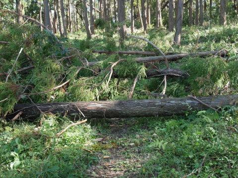 畑の実生のクリ、誤伐跡近くに移植2020・1・14_c0014967_06262058.jpg