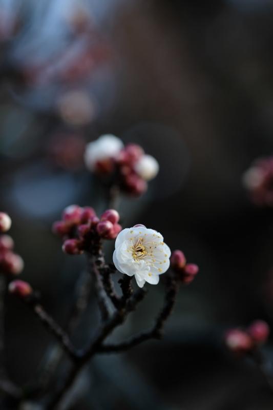 早春の便り 水戸偕楽園 2020・01・13_e0143883_04490984.jpg