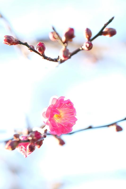 早春の便り 水戸偕楽園 2020・01・13_e0143883_04491903.jpg