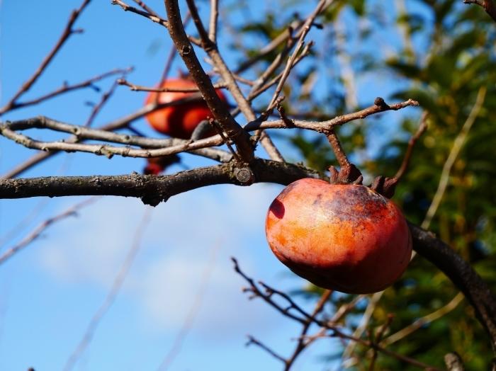 木守柿のある風景  2020-01-19 00:00  _b0093754_21203631.jpg