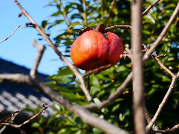 木守柿のある風景  2020-01-19 00:00  _b0093754_21205604.jpg