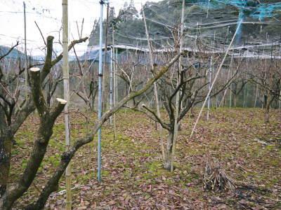 太秋柿 剪定作業2020 今年は今までと全く異なり低く仕上げています(後編)_a0254656_16583822.jpg