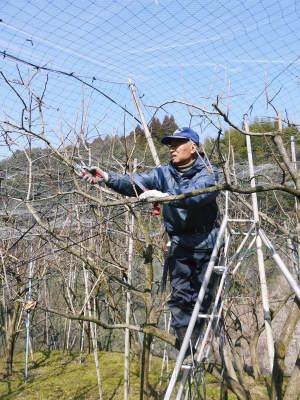 太秋柿 剪定作業2020 今年は今までと全く異なり低く仕上げています(後編)_a0254656_17074891.jpg