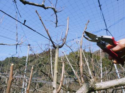 太秋柿 剪定作業2020 今年は今までと全く異なり低く仕上げています(後編)_a0254656_17112112.jpg