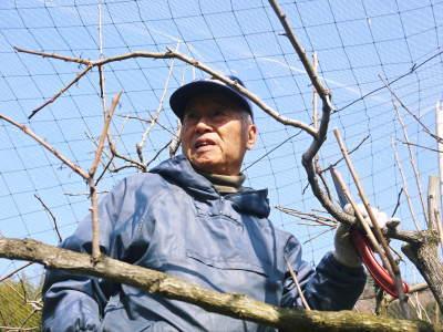 太秋柿 剪定作業2020 今年は今までと全く異なり低く仕上げています(後編)_a0254656_17171778.jpg