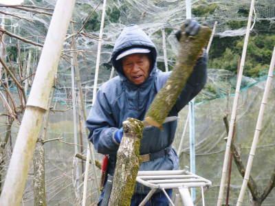 太秋柿 剪定作業2020 今年は今までと全く異なり低く仕上げています(後編)_a0254656_17191300.jpg