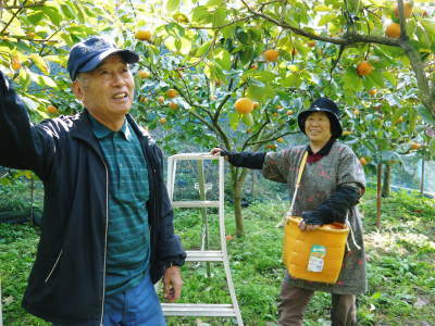 太秋柿 剪定作業2020 今年は今までと全く異なり低く仕上げています(後編)_a0254656_17385598.jpg