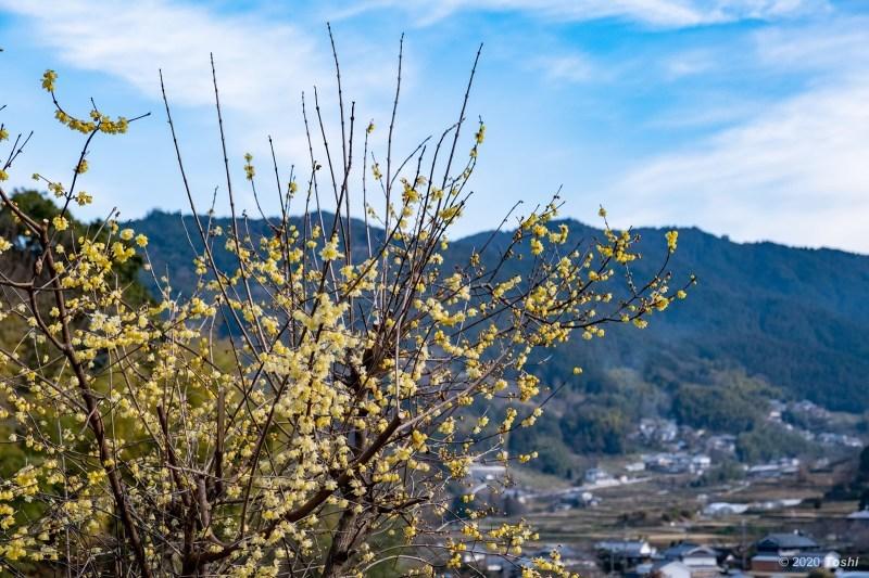 蝋梅と寒緋桜_c0350572_20483189.jpg