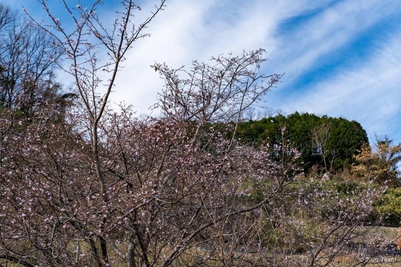 蝋梅と寒緋桜_c0350572_20483986.jpg