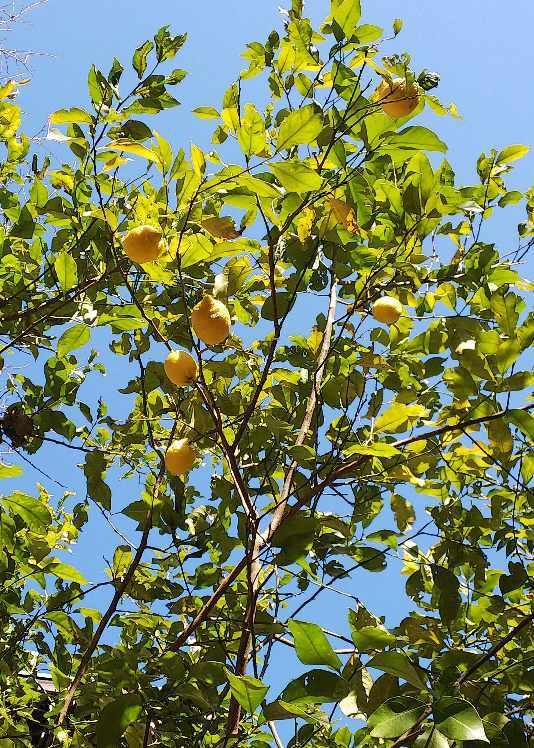 柑橘収穫_e0303187_22580936.jpg