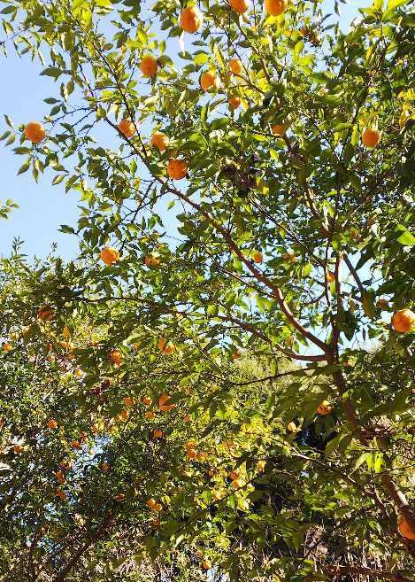 柑橘収穫_e0303187_22582634.jpg