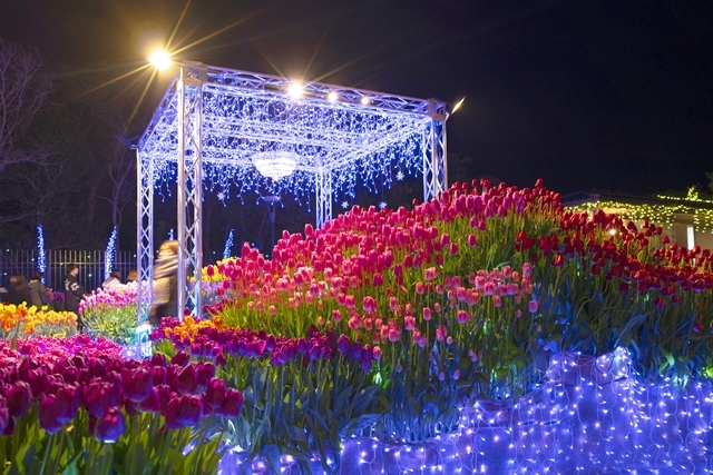 江ノ島ウィンターチューリップ_b0145398_23393067.jpg