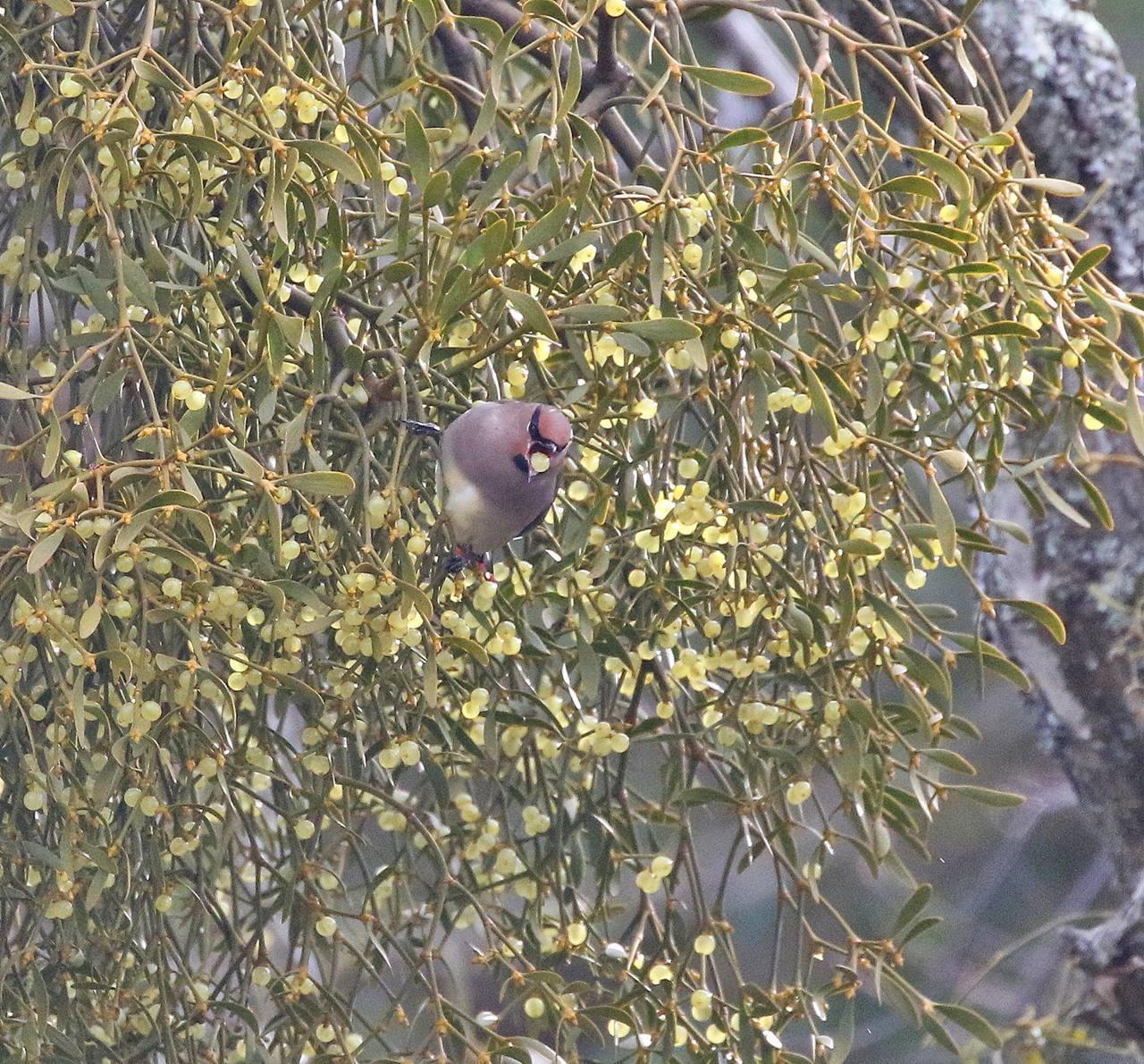 宿り木にレンジャクがやって来た_c0213607_22293255.jpg