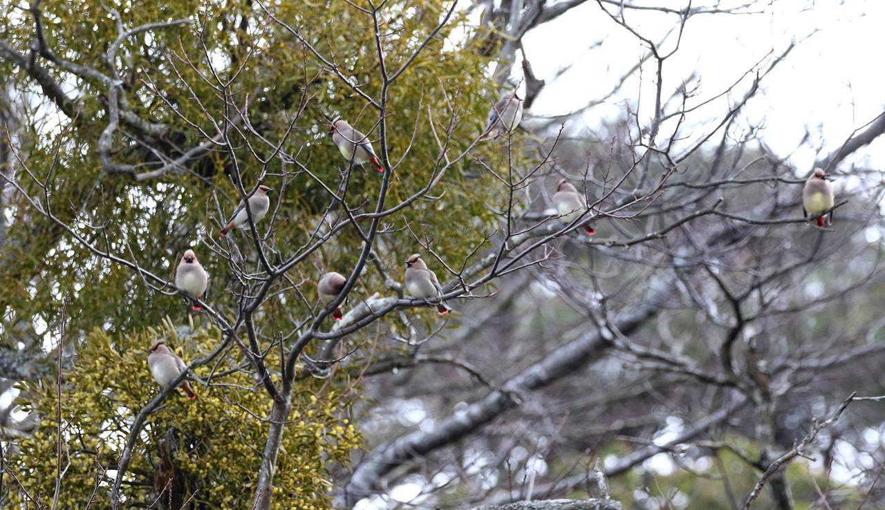 宿り木にレンジャクがやって来た_c0213607_22301668.jpg