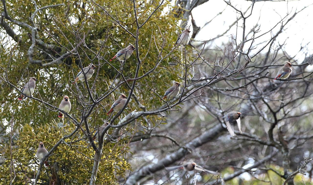 宿り木にレンジャクがやって来た_c0213607_22302017.jpg