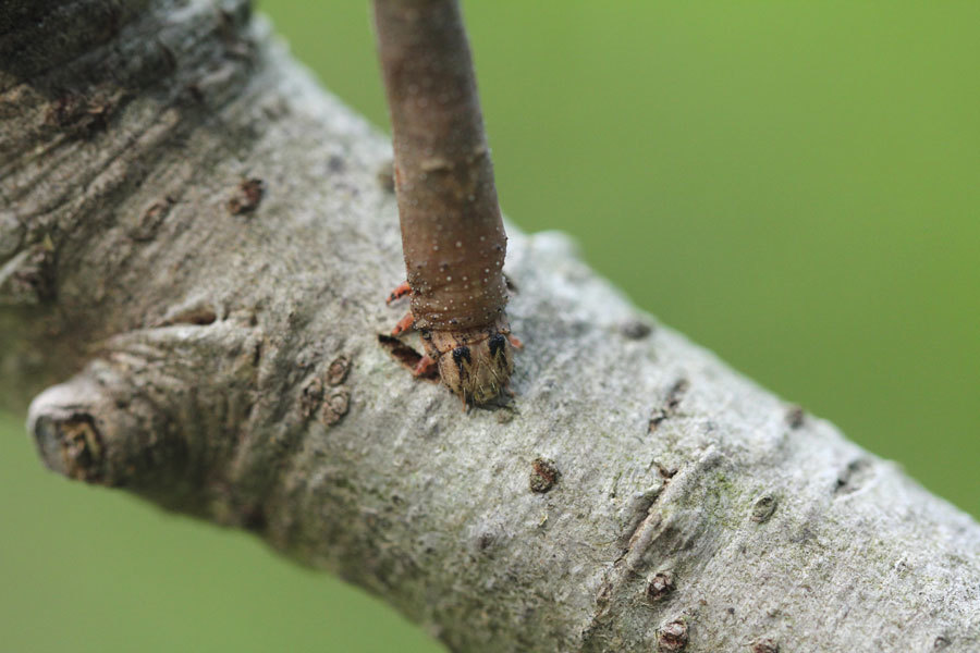 お尻側と頭側で枝にくっついていた芋虫_b0025008_10222550.jpg
