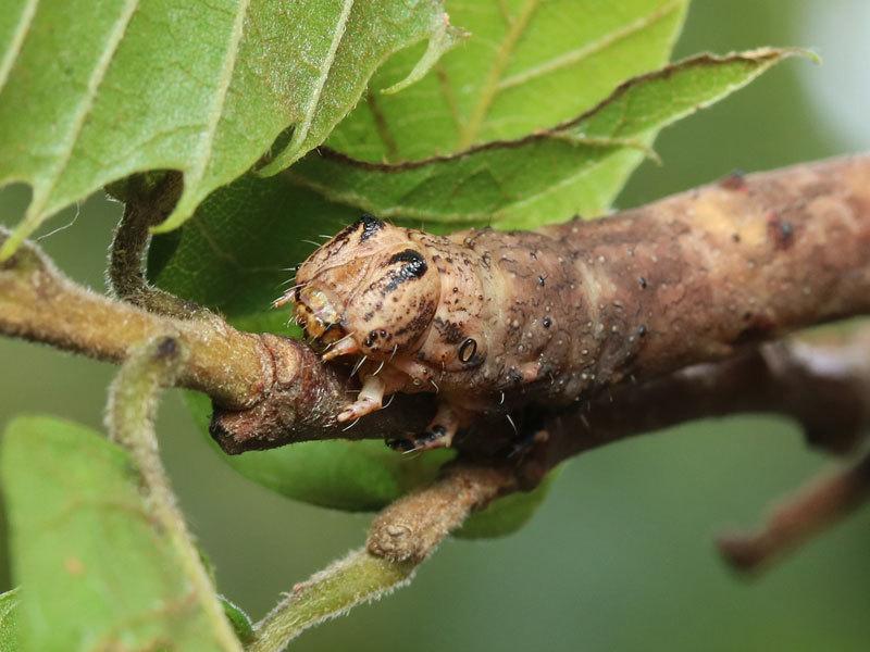お尻側と頭側で枝にくっついていた芋虫_b0025008_10282682.jpg