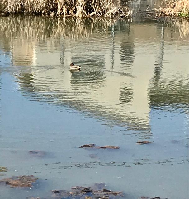 ため池のカモさん_e0399812_14043665.jpg