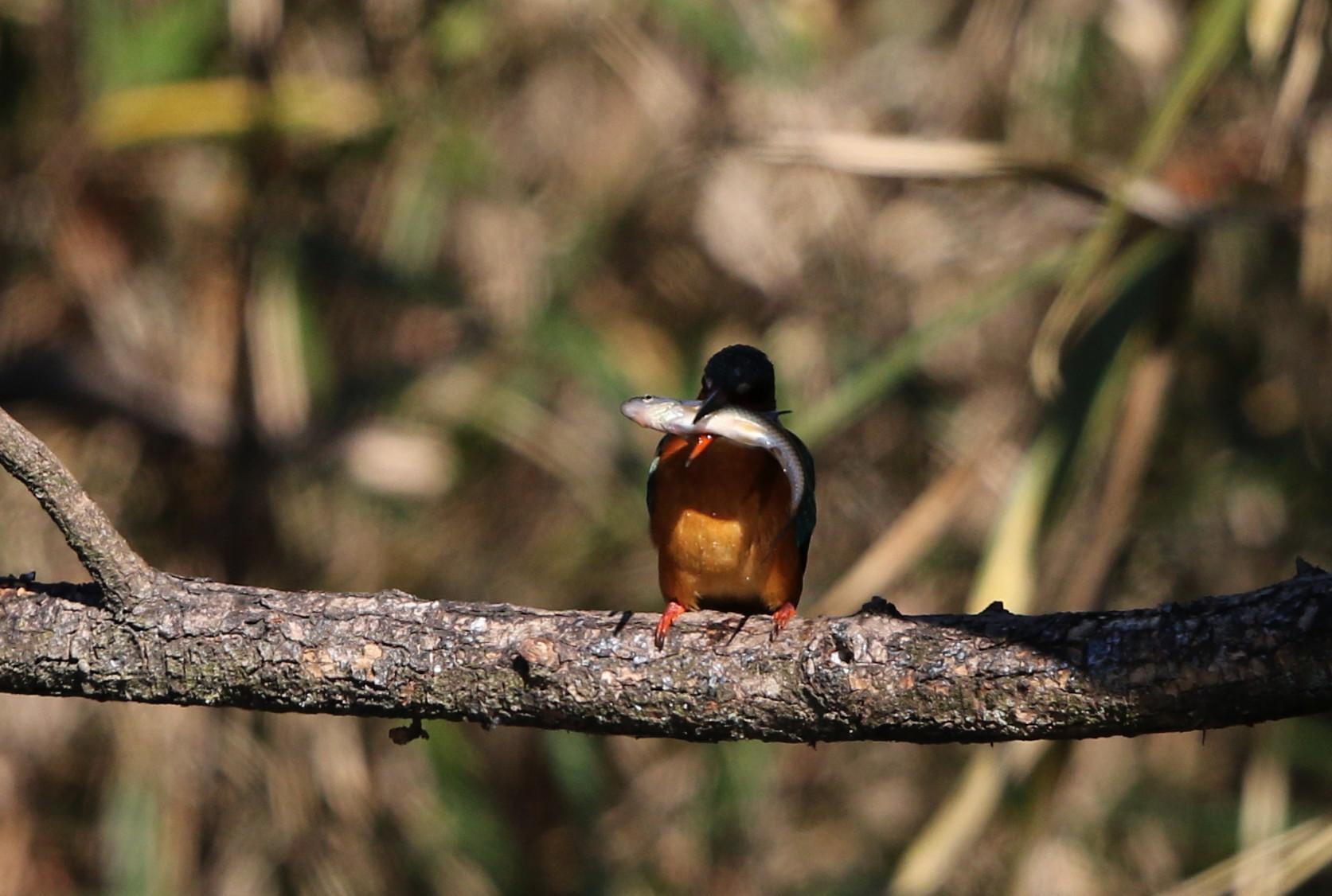 野鳥のオアシス その6(カワセミ女の子)_f0239515_15592851.jpg